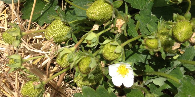 gruene-erdbeeren